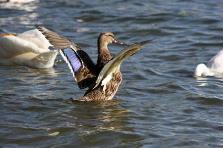 Female Mallard Wings Open photo