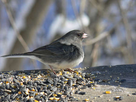 Dark-eyed Junco Wind In Feathers photo