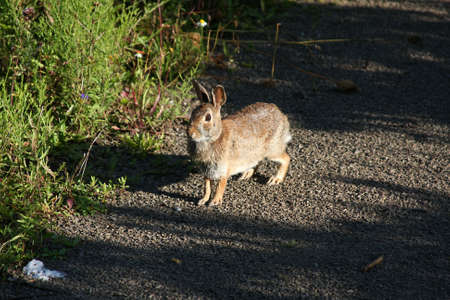 cottontail: Cottontail Rabbit In Morning Sun Stock Photo