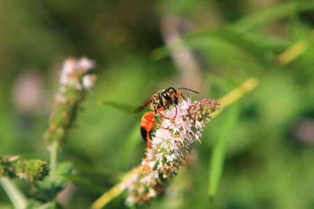 digger: Great Golden Digger Wasp
