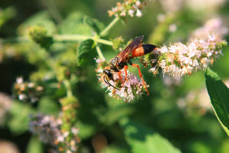 Grote gouden Digger Wasp Stockfoto