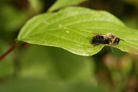 Cool Morning Resting Bumble Bee Stok Fotoğraf