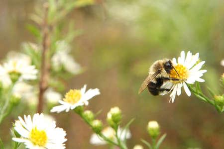 Bumble Bee Resting On White Flower Stok Fotoğraf