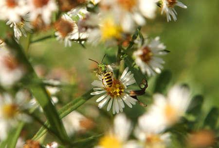metallic  sun: Green Metallic Bee - Agapostemon Feeding In Morning Sun