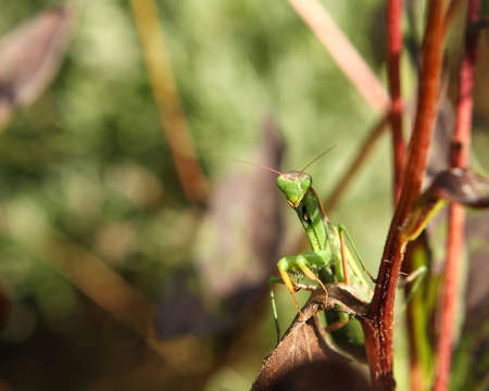 crawly: Mantis religiosa Warming In Morning Sun On Cone Flower Stalks