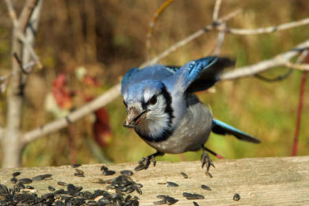 bluejay: Bluejay With Seed In Beak