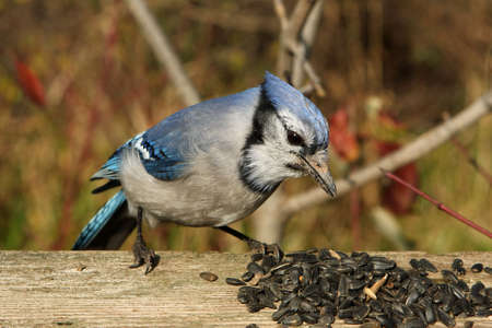 Bluejay Close-up photo