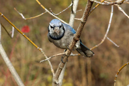 Bluejay On Branch photo
