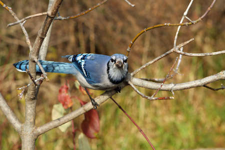 bluejay: Bluejay Looking Up
