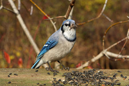 Bluejay In Morning Sun Feeding On Seeds photo