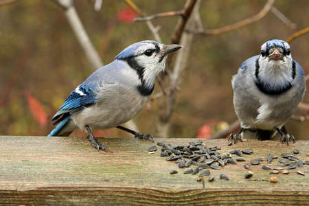 Bluejay Two With Seeds