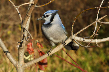 bluejay: Bluejay Perched On Branch  Stock Photo