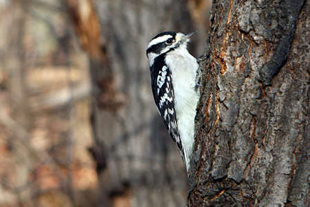 pecker: Downy Woodpecker Female Perched On Side Of Tree In Sun Stock Photo