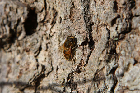 syrphid fly: Honey Bee Mimic Syrphid Fly On Side Of tree Stock Photo