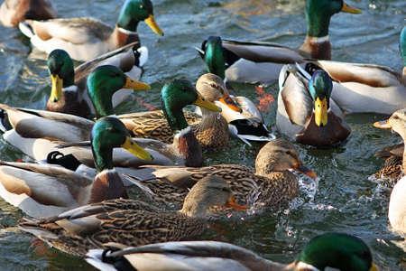 Mallard Ducks Feeding In Morning Sun photo