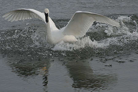 Trumpeter Swan Defence Stock Photo - 6834392