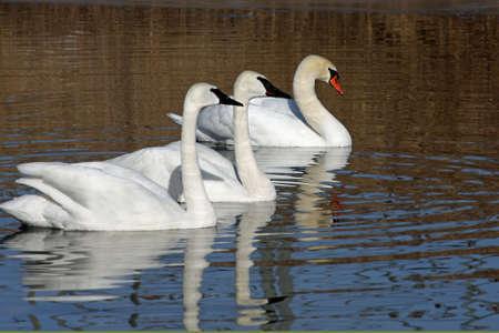 Swan Trumpeter & Mute Swan Stock Photo - 6834388