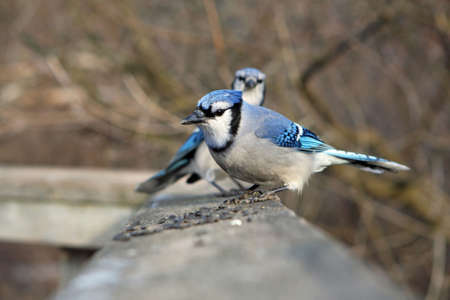 bluejay: Blue-jay Two On Boardwalk Rail With Seeds