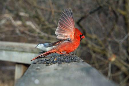 Cardinal Male On Boardwalk Open Wing