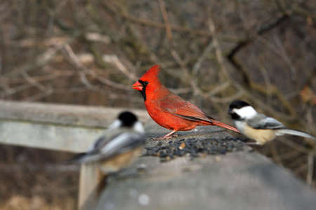 Cardinal Male On Boardwalk With Seeds  photo