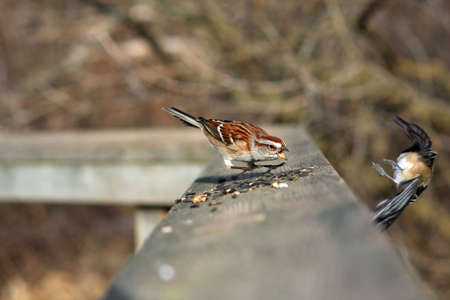 domestics: Tree Sparrow Get Away From My Seeds