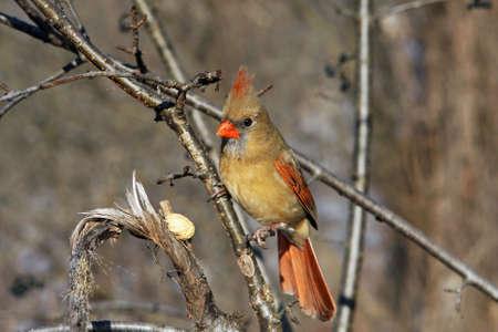 Cardinal Female Stock Photo - 6834470