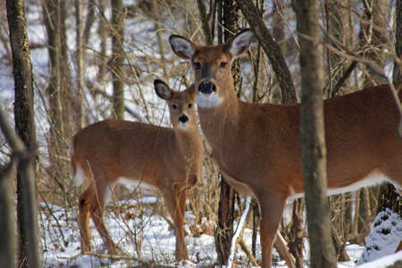 whitetail deer: White-tail Deer Doe Standing With Young In Background Stock Photo