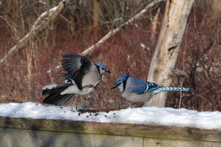 Blue-jay Fighting Over Peanuts In Morning Sun photo