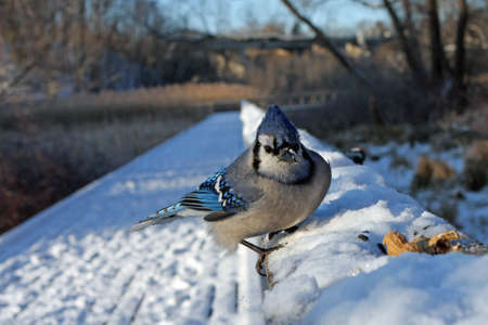 bluejay: Blue-jay Close-up On Boardwalk Rail In Snow