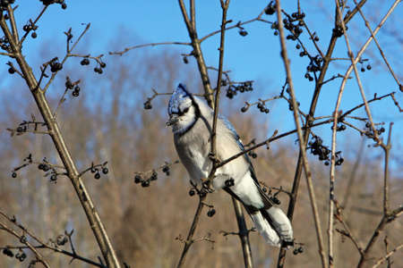 bluejay: Blue-jay Perched In Tree In Morning Sun