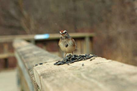 domestics: Tree Sparrow On Rail