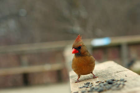 redbird: Cardinal Female On Rail In Winter