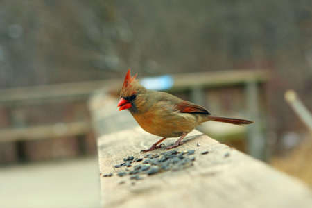 Cardinal Female On Rail In Winter With Seeds photo