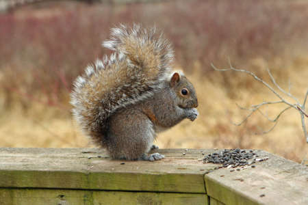 Gray Squirrel Eating Seeds On Rail Stock Photo