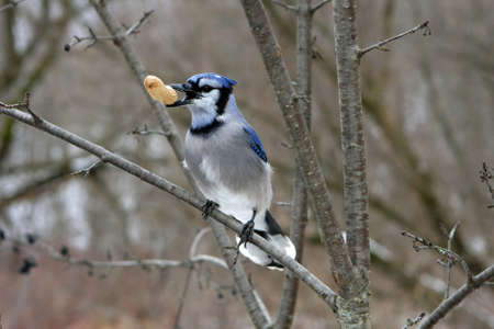 bluejay: Bluejay Perched On Branch With Peanut In Beak