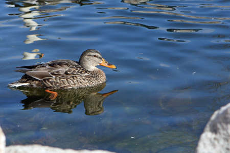 Mallard Duck Female In Sun In Water photo