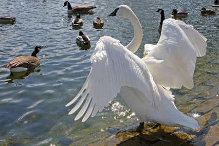 Trumpeter Swan Open Wings In Sun