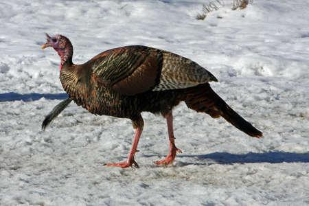 Wild Turkey Tom In Afternoon Sun photo