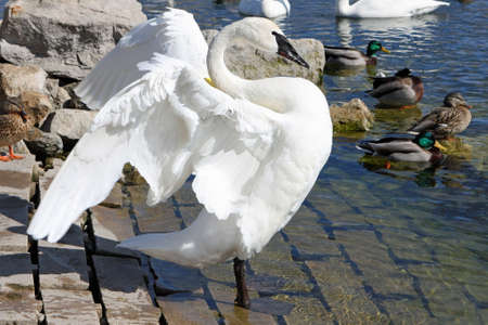 Trumpeter Swan Displaying In Afternoon Sun