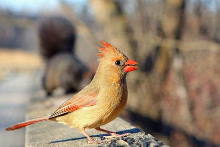 Cardinal Female On Rail In Sun  photo