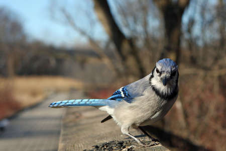 Bluejay On Rail In Afternoon Sun Close-up photo