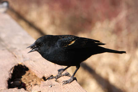 Red-winged Blackbird Male On Rail In Sun photo