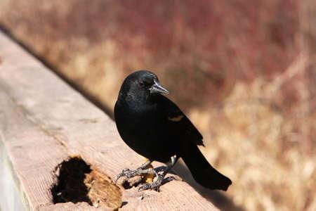 Red-winged Blackbird Male In Sun On Rail photo