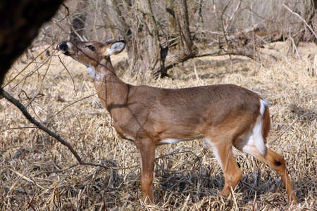 White-tail Deer Young Buck Feeding On Buds photo