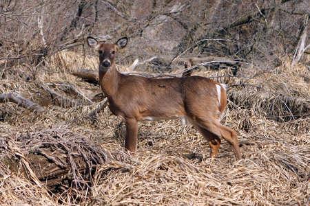 White-tail Deer Buck Standing In Marsh In Morning Sun photo