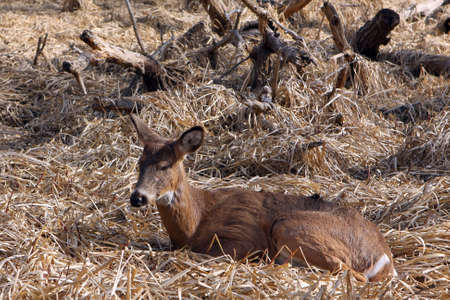 White-tail Deer Young Buck Sleeping In Marsh In Morning Sun Stock Photo - 6834638