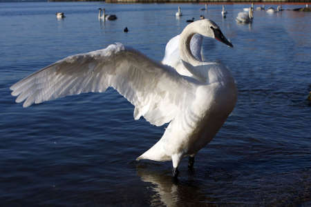 swan: Trumpeter Swan Wings Open In Morning Sun Stock Photo