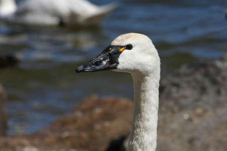 Tundra Swan close-up Head Shot Stock Photo - 6834649