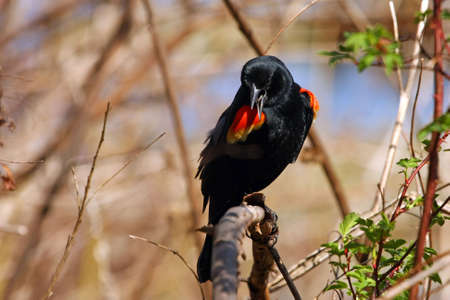 Red-winged Blackbird Male Perched On Branch photo