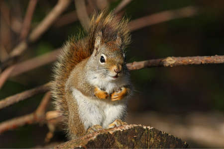 Red Squirrel In Morning On Log photo